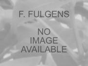 f-fulgens