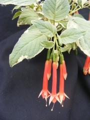 f-fulgens-variegata