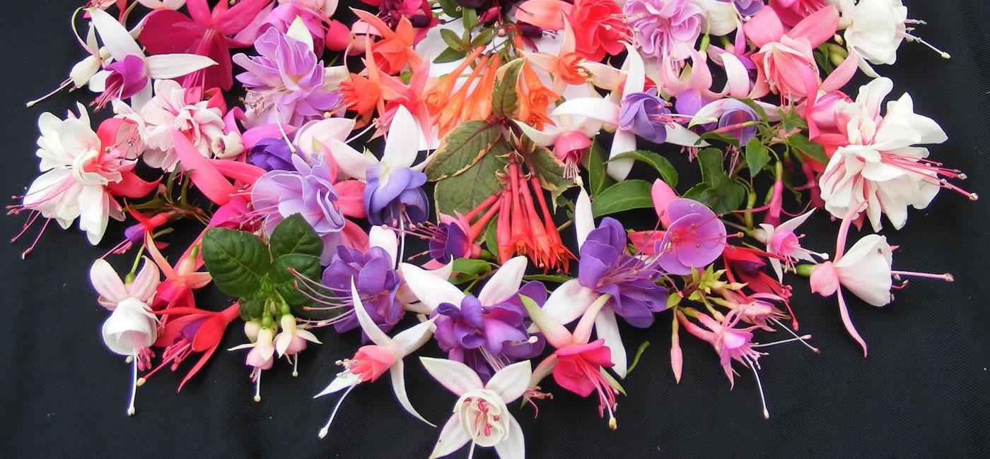 colourful fuchsia display